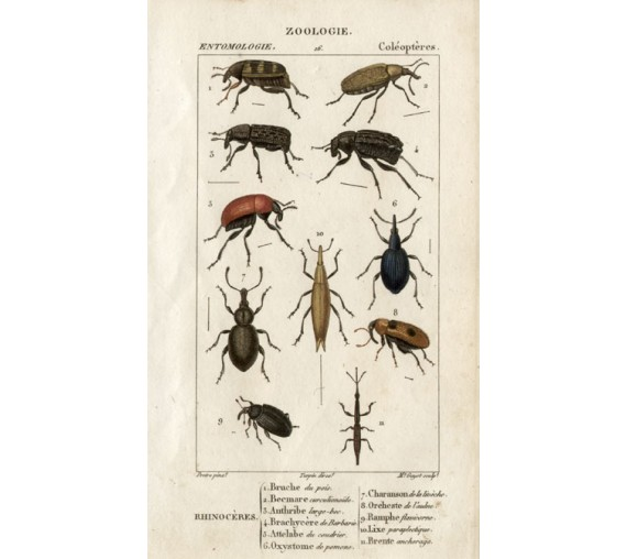 Dumeril Rhino beetles engraving French insect Pretre