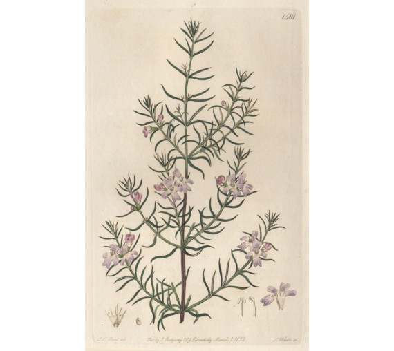 westringia longifolia purple loddiges botanical print antique engraving