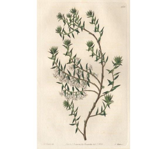 epacris nivalis snowy loddiges botanical print antique engraving