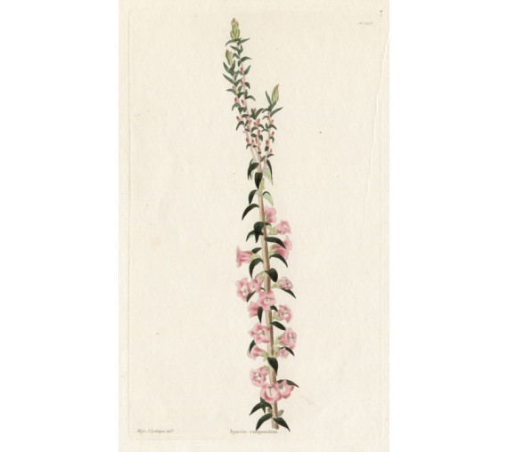 epacris campanulata loddiges botanical print antique engraving