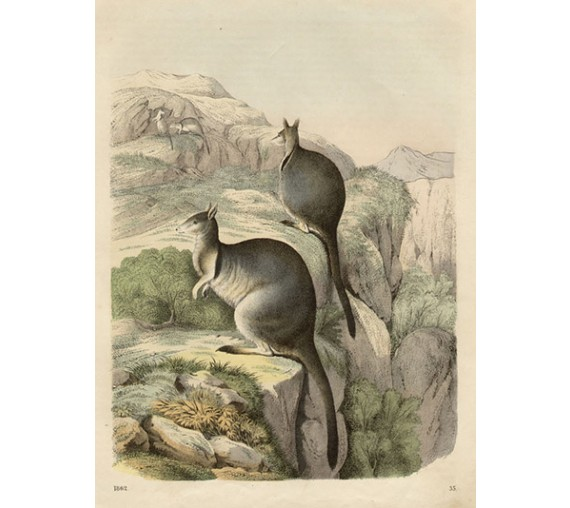 rock wallaby engraving 1862