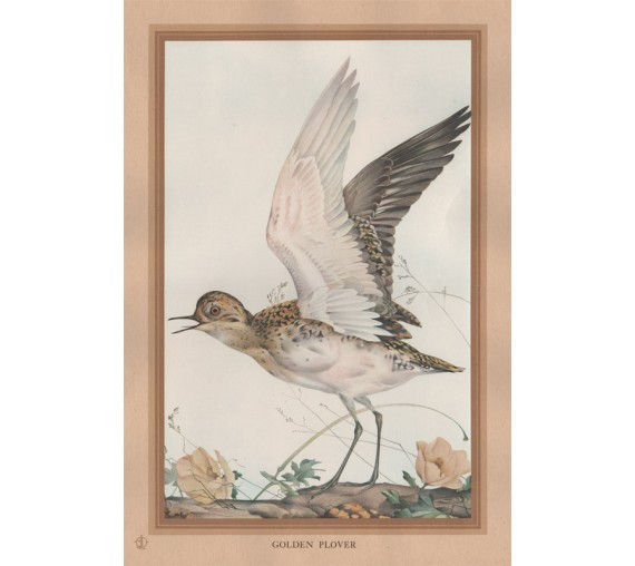 Golden Plover Edward Detmold Nature pictures