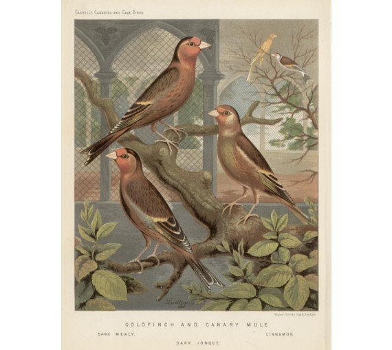 Goldfinch Canary Mule Victorian Chromolithograph Ludlow