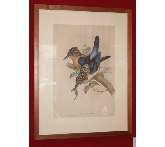 Mantled Kingfisher Dacelo tyro Lithograph John Gould
