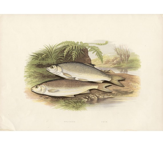 Graining Dace Chromoxylographs Houghton fish Lydon