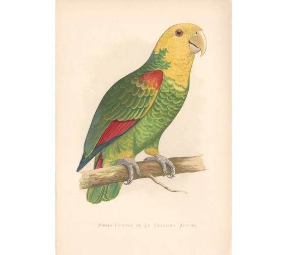 DoubleFronted Le Vaillant's Amazon Greene Parrots Captivity