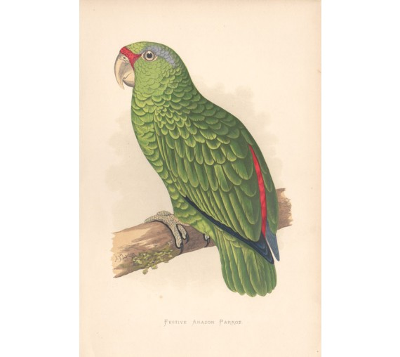 Festive Amazon Parrot Greene Parrots Captivity