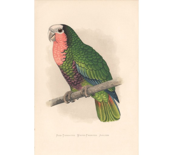 Red Throated White Fronted Amazon Greene Parrots Captivity