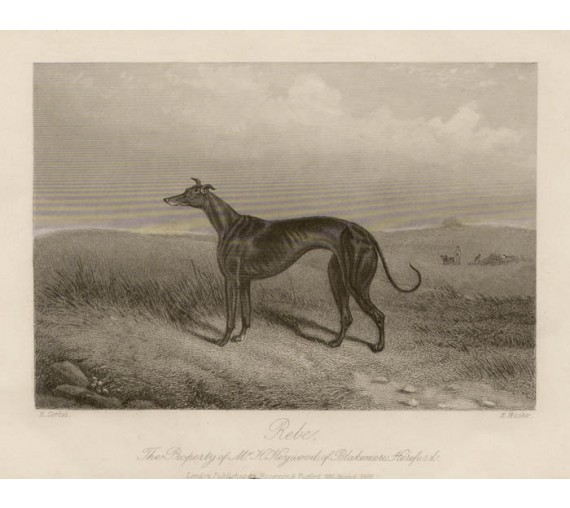 Greyhound Rebe engraving antique dog print