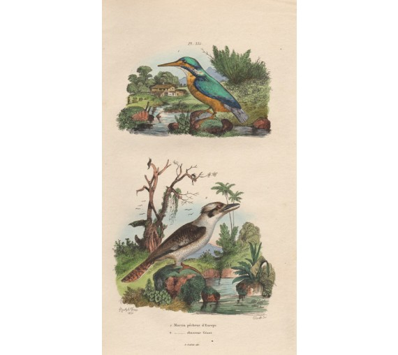Kookaburra engraving Adolph Fries 1836