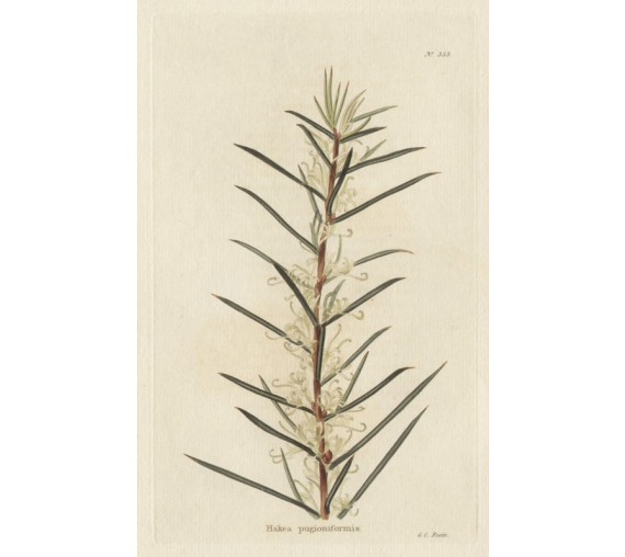 hakea pugionformis teretifolia loddiges botanical print antique engraving