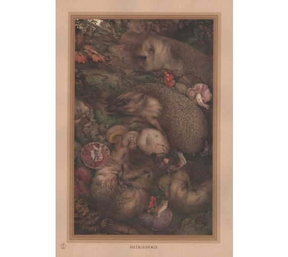 Hedgehog Edward Detmold Nature pictures