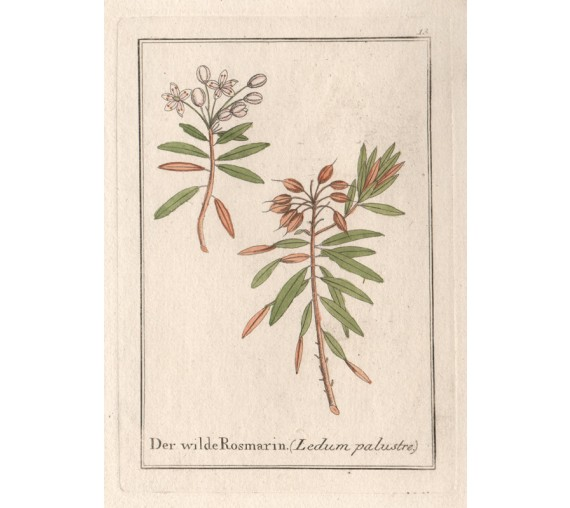 ledum rosemary herbal botanical engraving antique print