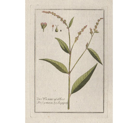 polygonum hydropiper water pepper botanical engraving antique print