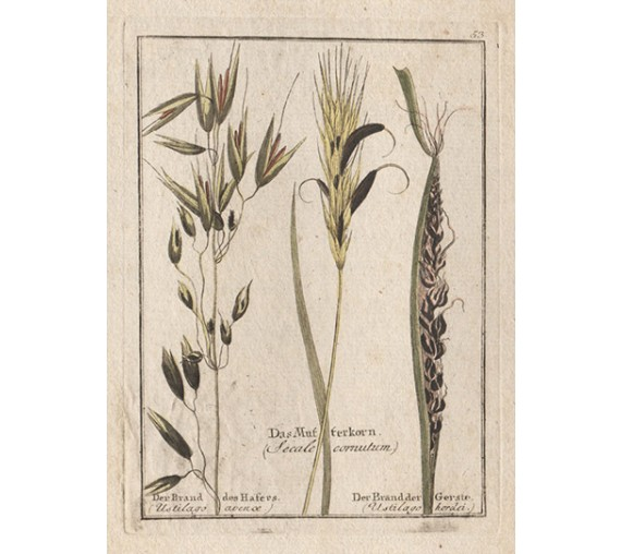 ergot barley fungus botanical engraving antique print