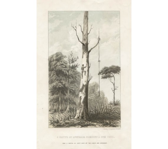 Native Australia Climbing Gum Tree lithograph Hext