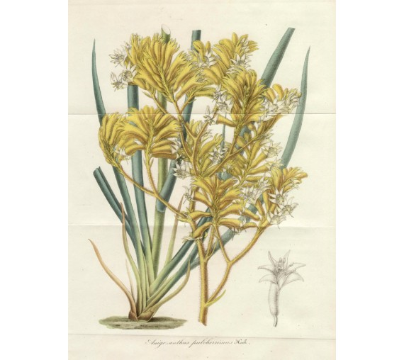anigozanthus yellow kangaroo paw houtte botanical print antique