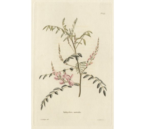 indigofera pink loddiges botanical print antique engraving