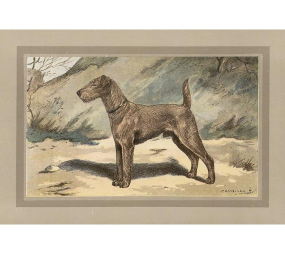 Irish Terrier Chromolithograph print gun dog breed