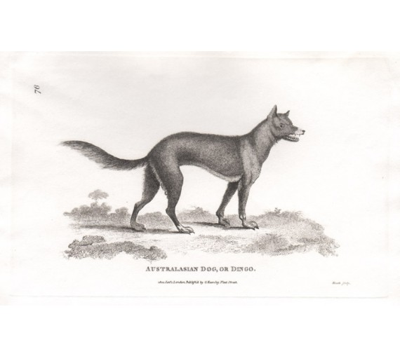 Australasian Dog Dingo engraving Heath 1800