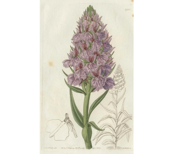 orchis orchid loddiges botanical register print antique engraving