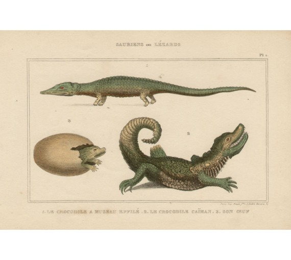 Crocodiles French antique engraving print