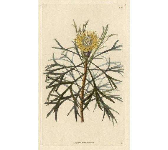 isopogon anemonifolius loddiges botanical print antique engraving