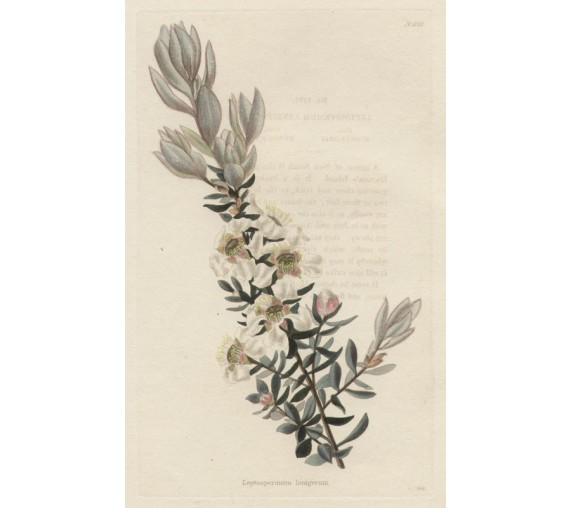 leptospermum lanigerum loddiges botanical print antique engraving