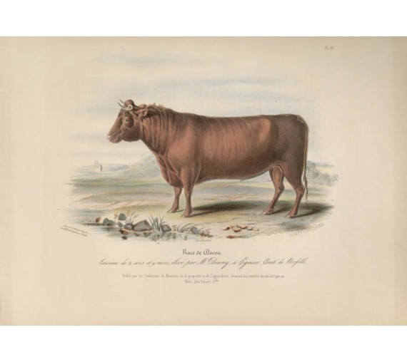 Low Domestic Breeds Devon Cattle Lithograph Nicholson Shiels