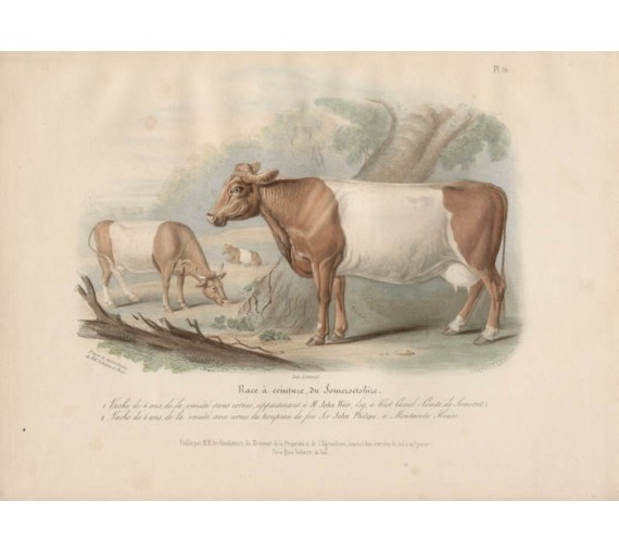 Low Domestic Breeds Somerset Cattle Lithograph Nicholson Shiels