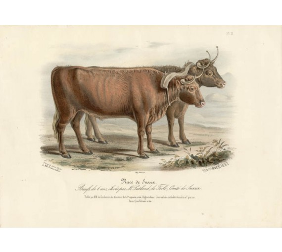 Low Domestic Breeds Sussex Cattle Lithograph Nicholson Shiels