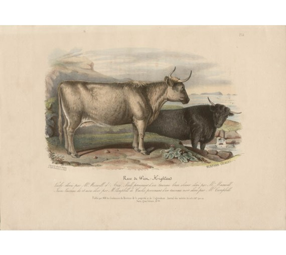 Low Domestic Breeds West Highland Cattle Cow Lithograph