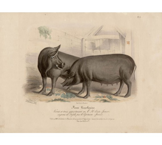 Low Domestic Breeds Neapolitan Pig Lithograph Nicholson Shiels