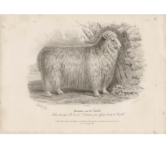 Low Domestic Breeds Ancient Lincoln Sheep Lithograph