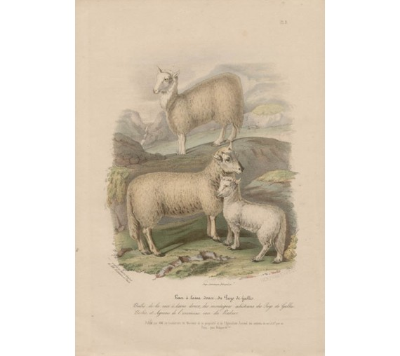 Low Domestic Breeds Softwoolled Sheep Wales Lithograph