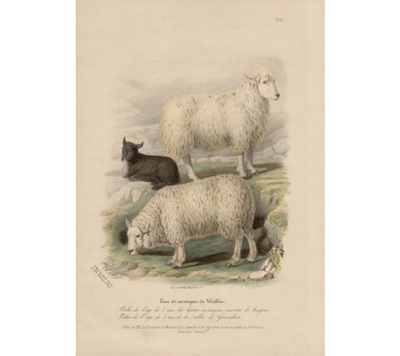 Low Domestic Breeds Wicklow Sheep Lithograph