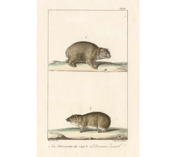 Marmottes Lithograph French antique print