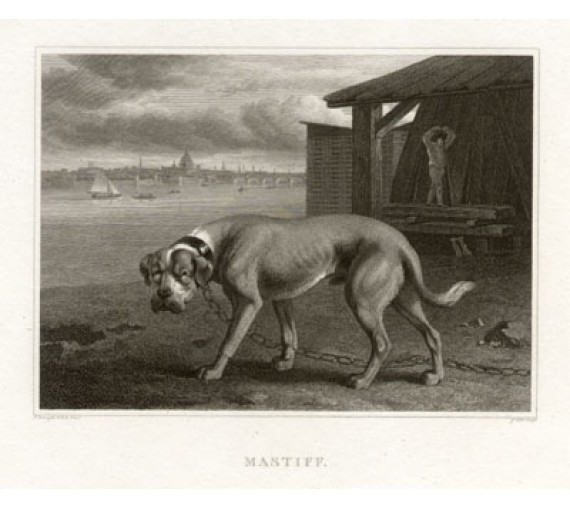 Mastiff engraving Scott Philip Reinagle dog