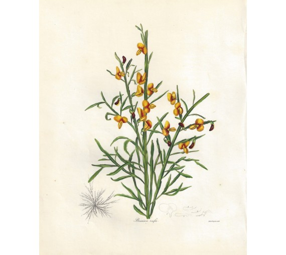 bossiaea rufa botanical print antique engraving maund