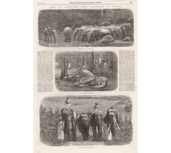 Capturing Wild Elephants Ceylon antique engraving Sri Lanka