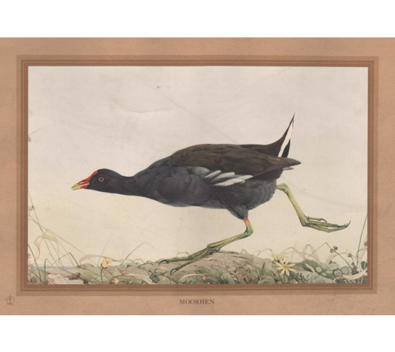 Moorhen Edward Detmold Nature pictures