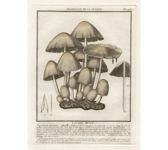 mushroom champignon buillard french botanical print antique engraving