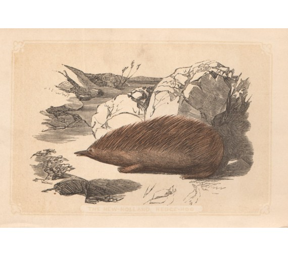 New Holland Hedgehog Echidna  lithograph