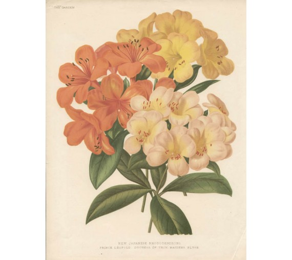 japanese rhododendron botanical print antique chromolithograph