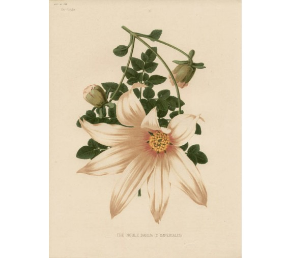dahlia botanical print antique chromolithograph white flower