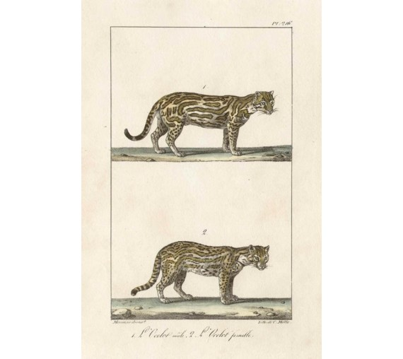 Ocelot Lithograph French antique print cat