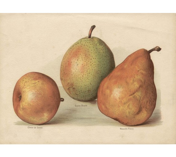 pear wright fruit botanical print antique chromolithograph