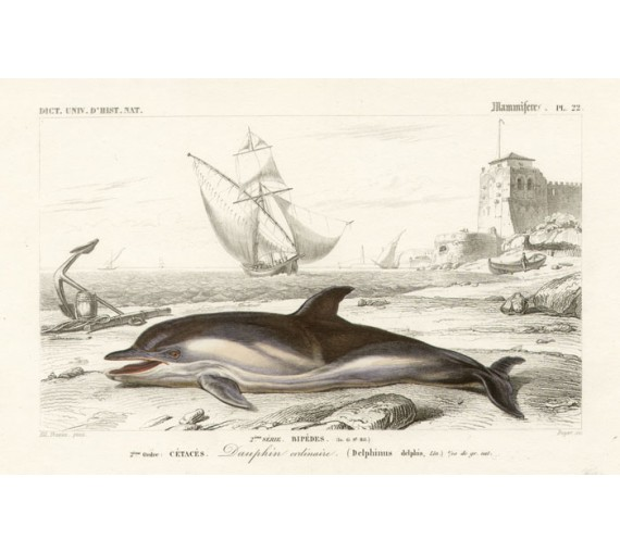 Cetaces Dolphin antique engraving Edouard Travies