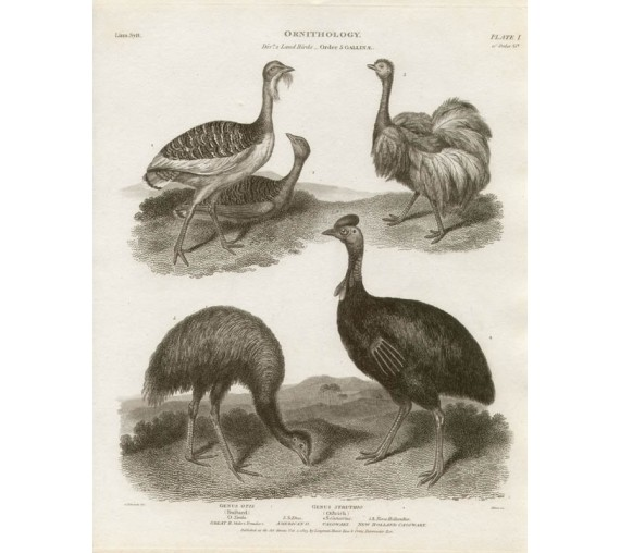 Ornithology New Holland Cassowary engraving Sydenham Edwards