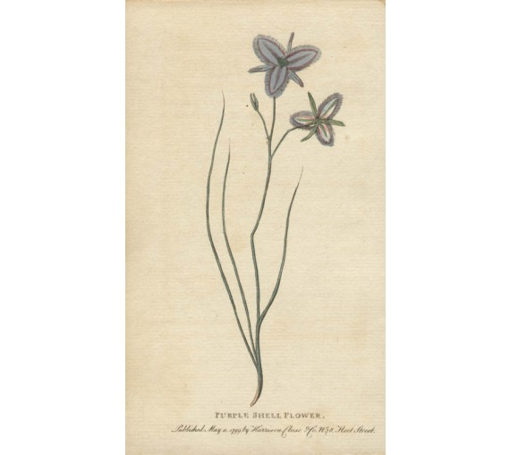 thysanotus purple shell flower botanical print antique engraving